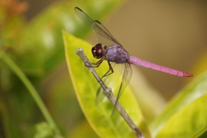 dragonfly pink